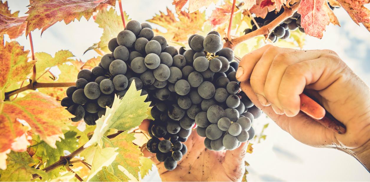 Raccolta uva da vino